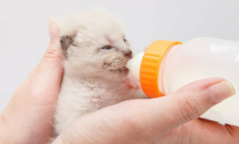 Receta de leche materna para gatos casera 1
